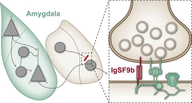 科学家识别新抗焦虑治疗的突触蛋白靶标