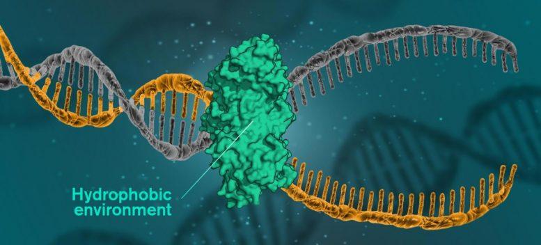 关于如何通过疏水作用将DNA结合在一起的新见解