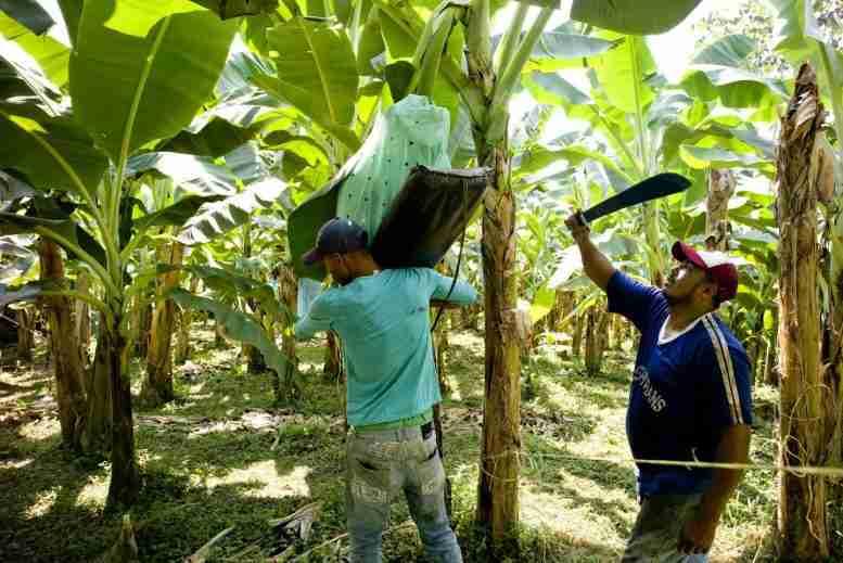 气候变化可能会严重影响全球香蕉的产量[视频]