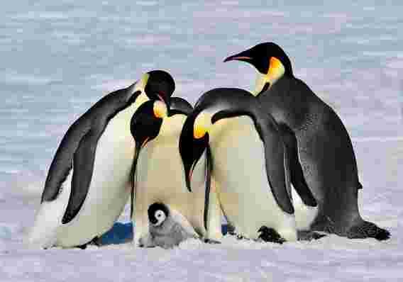 企鹅皇帝受到威胁 - 研究建议特别保护