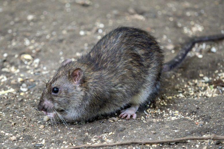纽约市的科学家使用信息素来跟踪大鼠